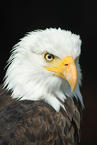 Focused photo of Bald Eagle