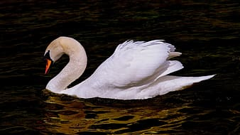 Wildlife photography of white swan on body of water