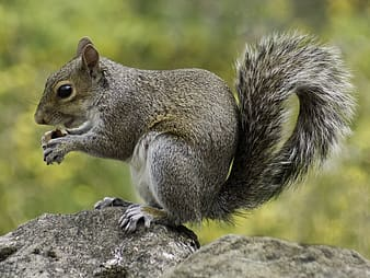 Squirrel holding nut standing on rock
