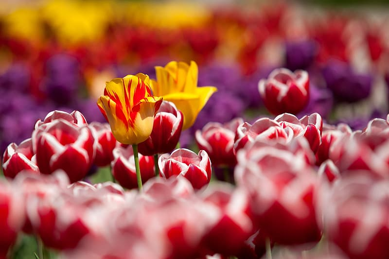 Red, yellow, and purple tulip flower field