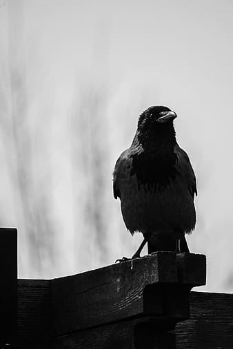 Grayscale photography of crow