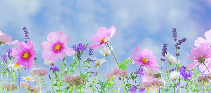 Selective focus photography of pin cosmos flowers and lavender flowers