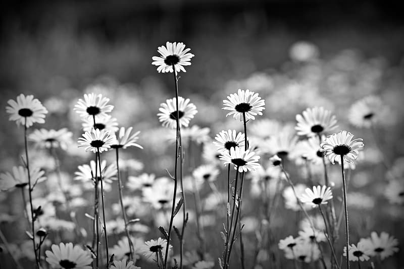 Grayscale photo of daisy flowers