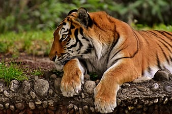 Close-up photo of tiger lying on brown soil