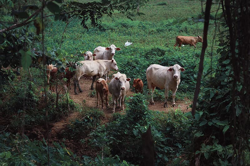 Herd of white and brown cows on green grass field during daytime