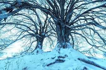 Leafless tree on snow covered ground