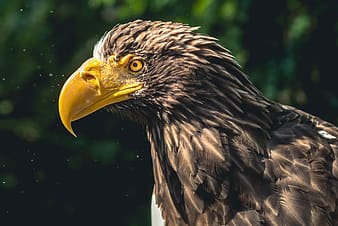 Close up photo of yellow beaked black and white eagle