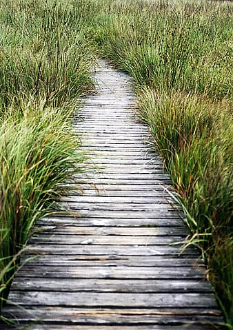 Brown wooden boardwalk surrounded by green grasses