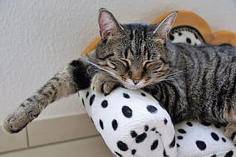 Brown tabby cat lying on pet bed close-up photo