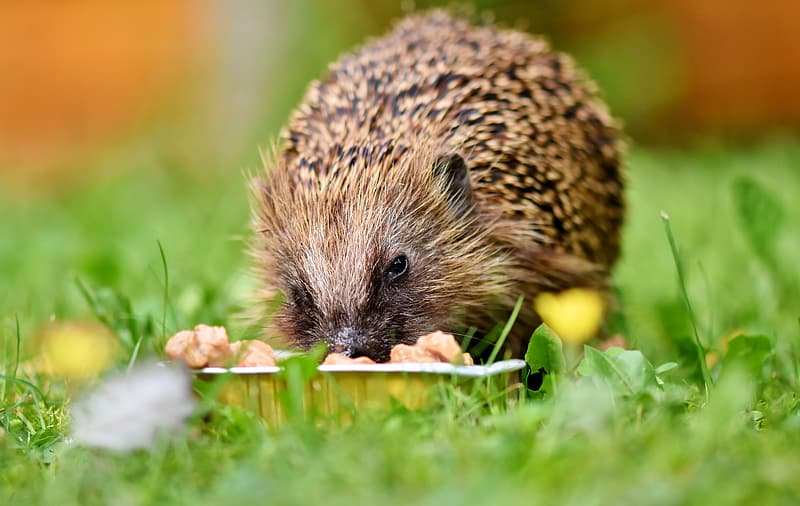 Hedgehog eating yellow fruit on green grass during daytime