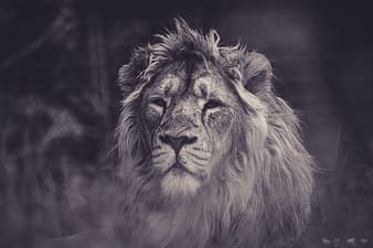 Lion in grayscale photography during daytime