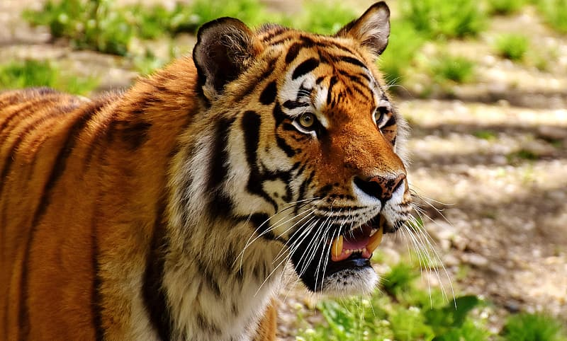 Tiger with grass