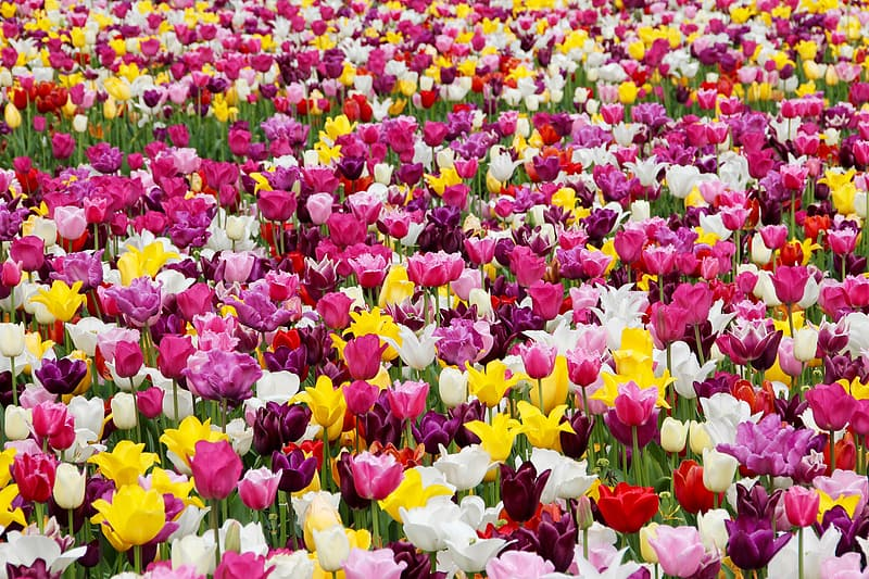 Assorted-color tulip flower field during daytime