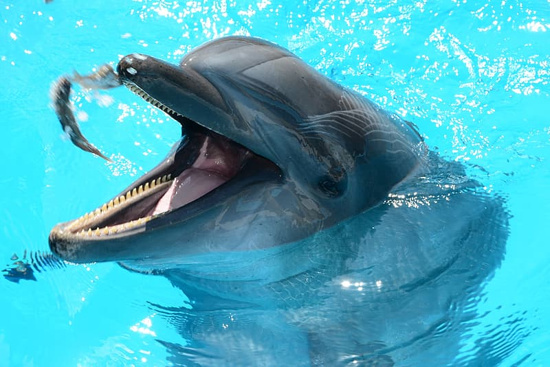 Gray dolphin in swimming pool