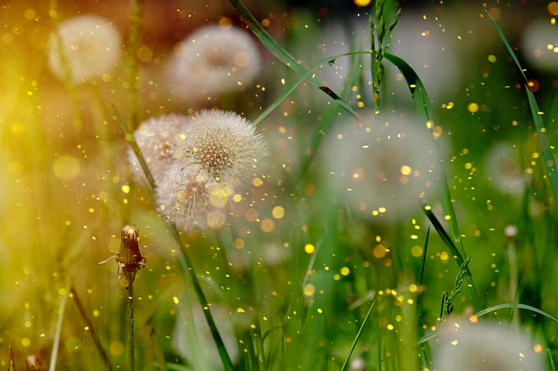 Shallow focus photography of white dandelions