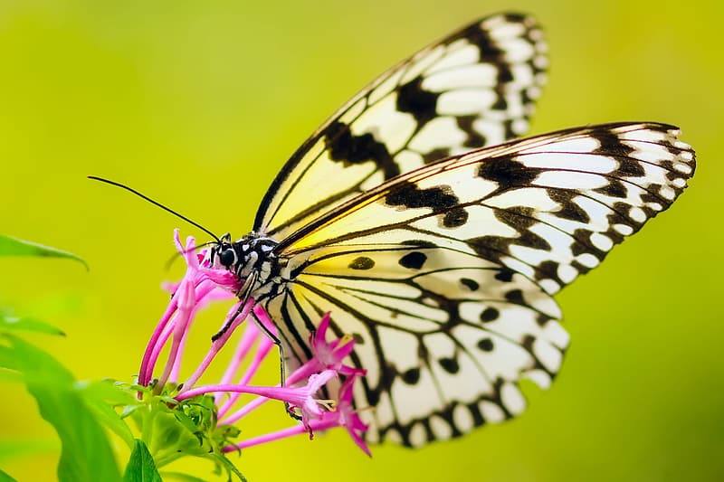 Paperkite butterfly perched on purple petaled flower closeup photography