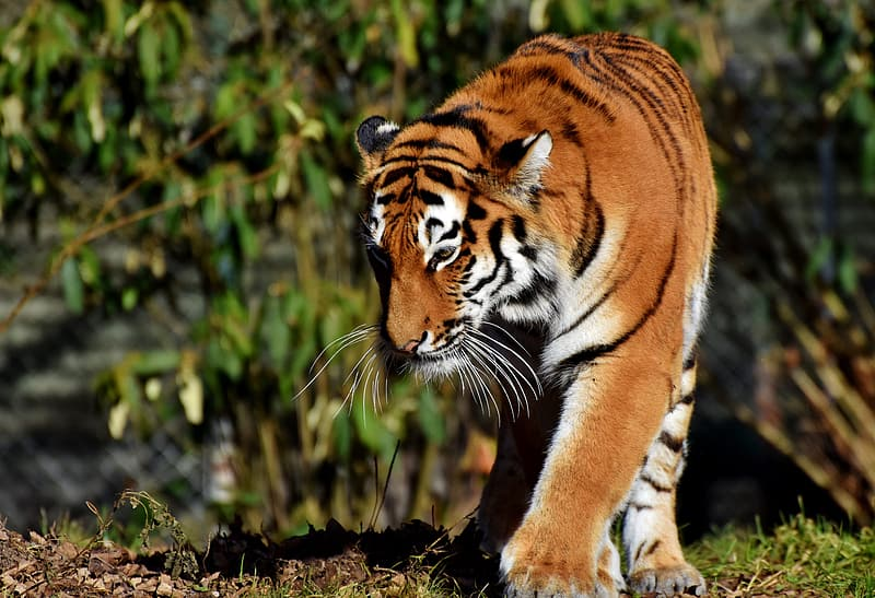 Brown tiger walking on the field