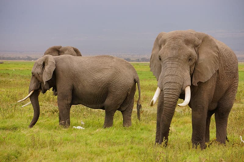Three adult elephants standing on grass field