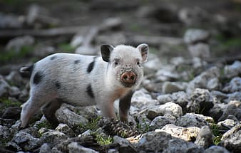 White and black piglet on rocky ground during daytime