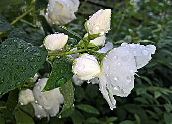 White rose with water droplets closeup photography