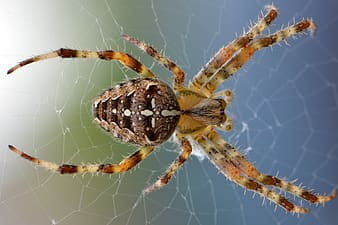 Green and brown furrow spider