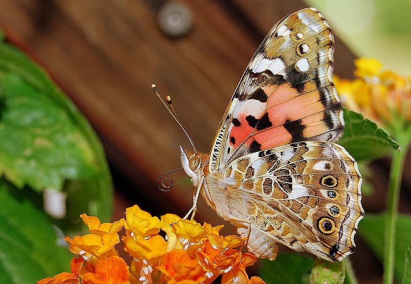 Brown, black, and orange butterfly perched on orange and yellow petaled flowers