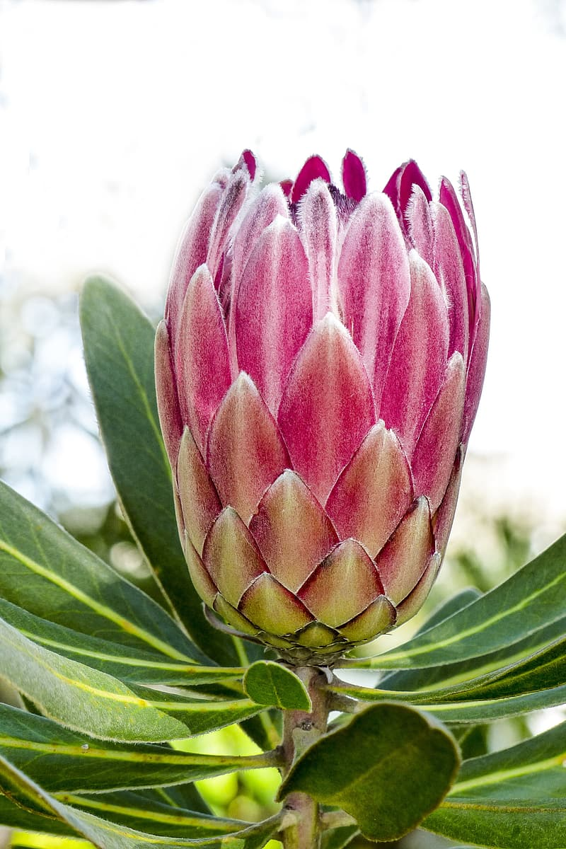 Pink king protea flower in close up photography