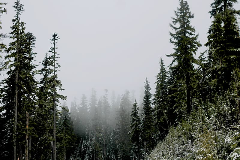 Landscape photography of green pine trees covered with fog