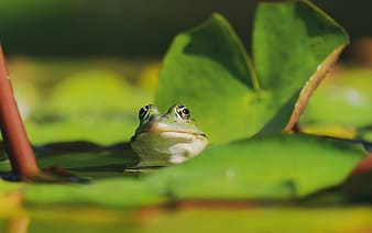 Green frog on green water