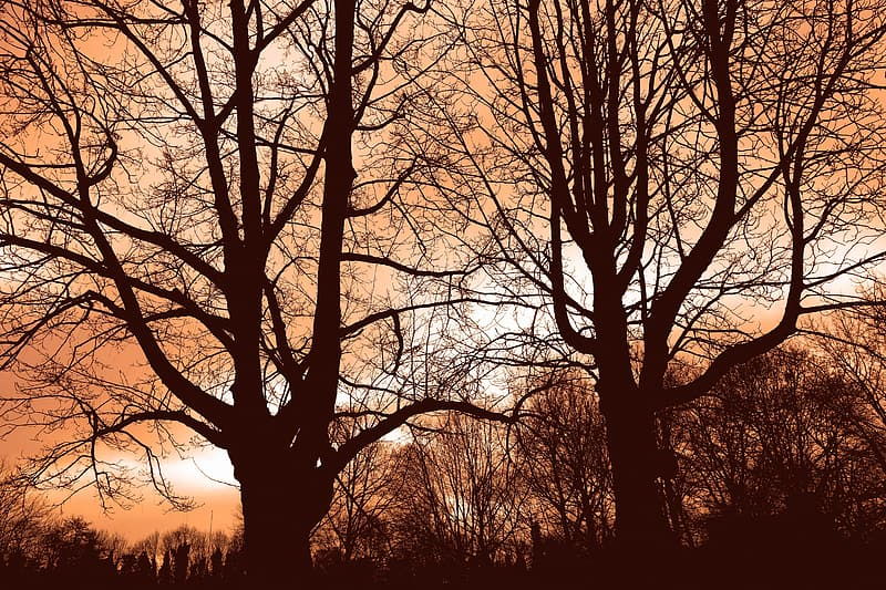Leafless trees during golden hour
