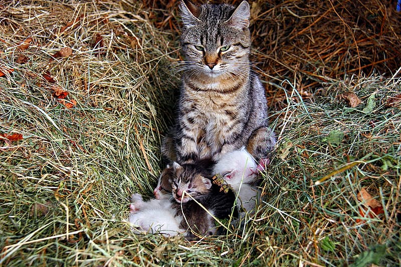Cat and kittens on hay