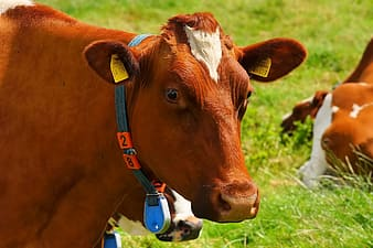 Brown cow on green grasses