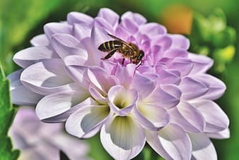 Black and yellow bee on purple flower