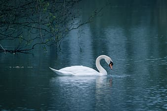 White swan in the body of water during daytime