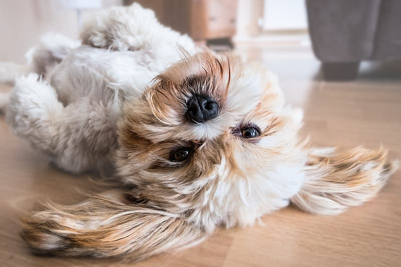 Adult white and tan shih tzu lying down on floor