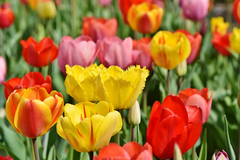 Pink, red, and yellow tulip field in bloom