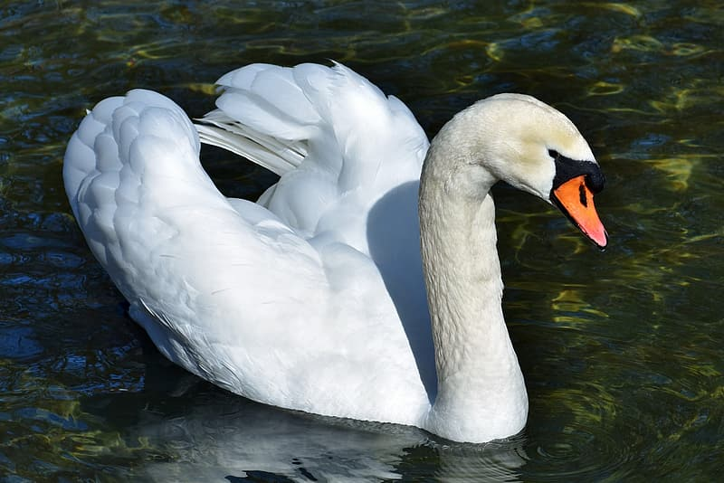 White swan floating on body of water