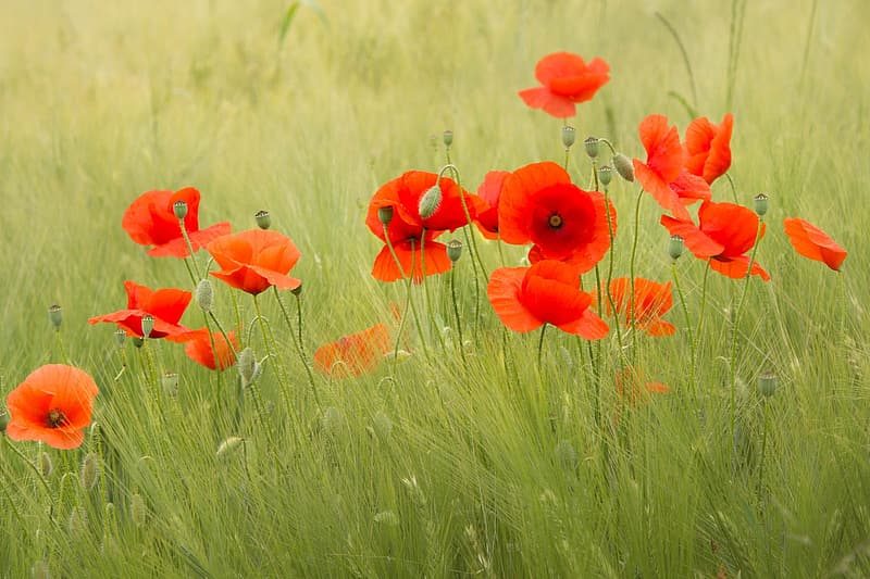 Photo of red poppy flowers