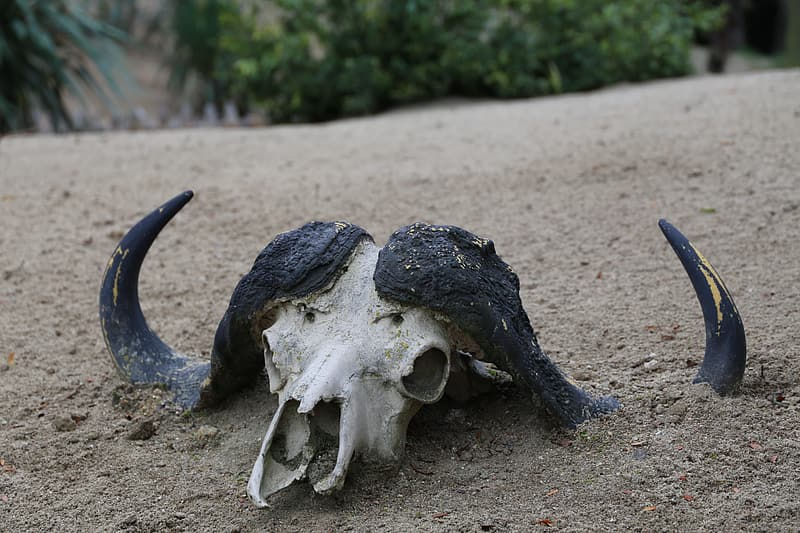 Black and white animal skull covered with dirt