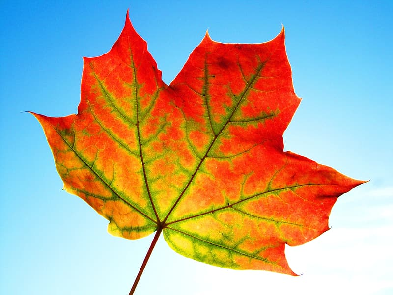 Close up photography of maple leaf