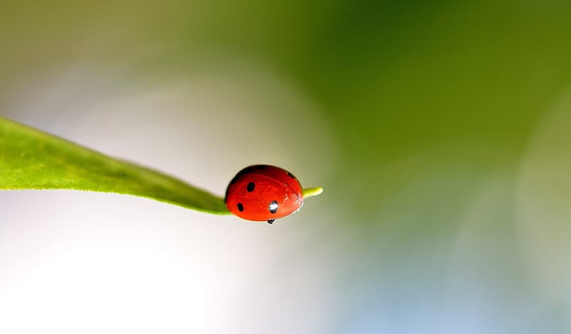 Ladybug perched on green leaf selective focus photography