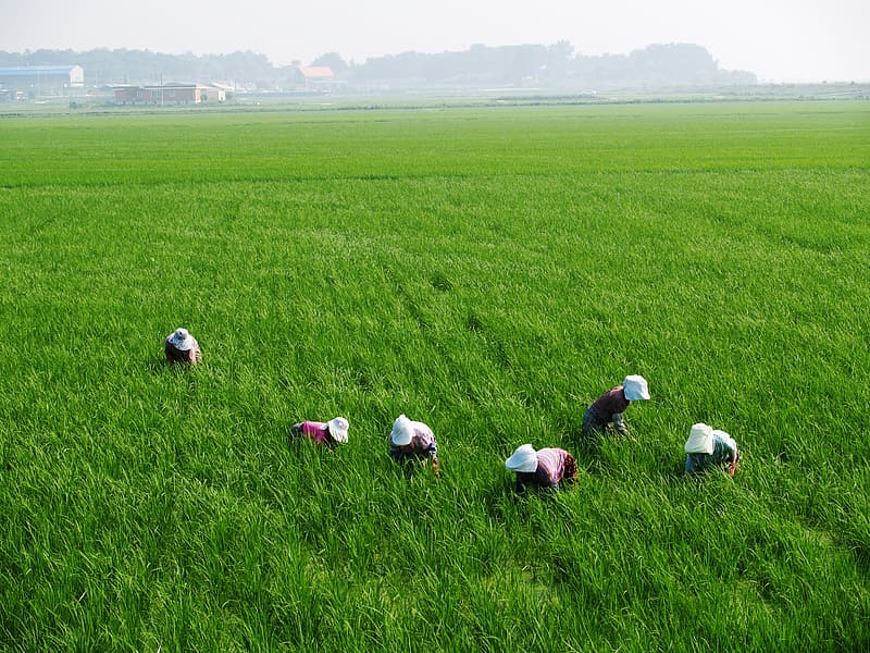 People in the middle of green rice field