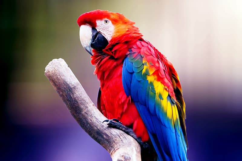 Red yellow and blue bird on brown tree branch