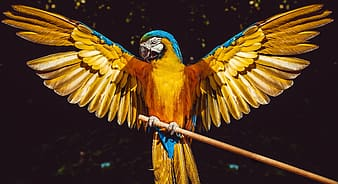 Yellow blue and red macaw