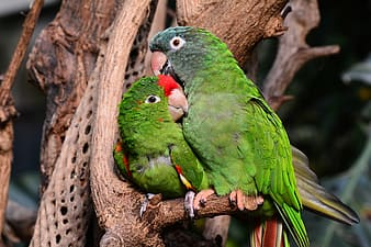 Two red-crowned parrots perched on tree
