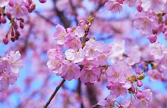 Pink cherry blossom flowers in closeup photography