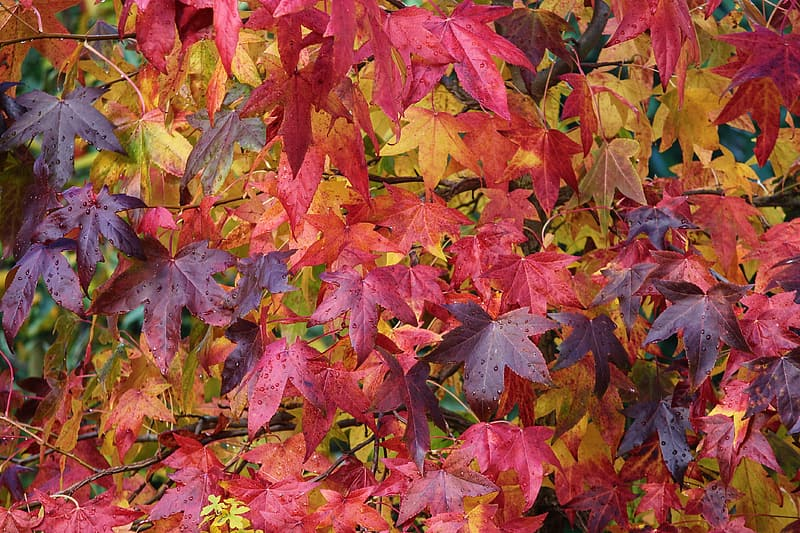 Red and brown maple leaves