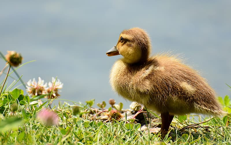 Photo of yellow duckling on green grass field