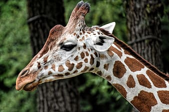 Brown and white giraffe in close up photography