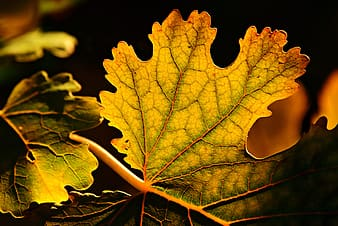 Yellow and green maple leaf